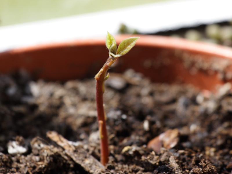 Meine Avocado-Pflanze - ca. 1 Woche alt
